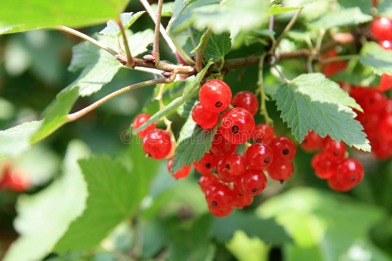 Ribes immagine stock