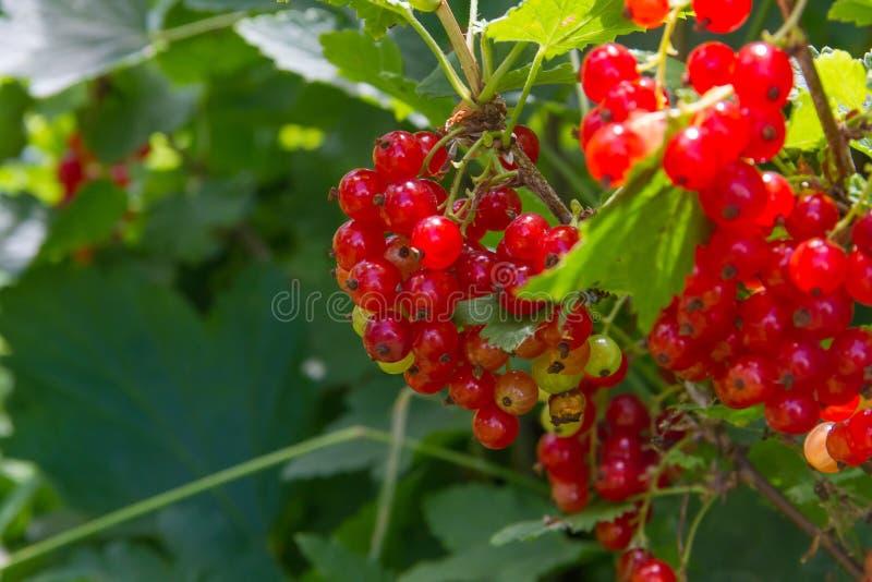 Ribes nel giardino soleggiato di estate fotografia stock libera da diritti