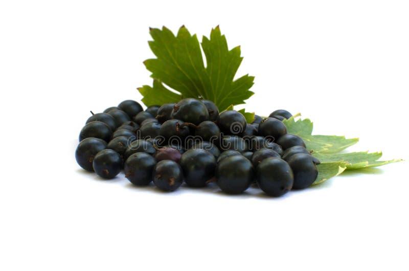 Ribes nero fresco immagini stock