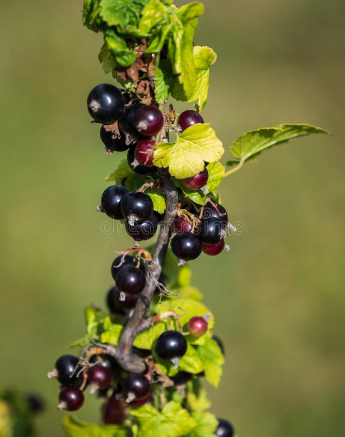 Ribes nero in una pianta di Bush in un giardino, estate fotografia stock