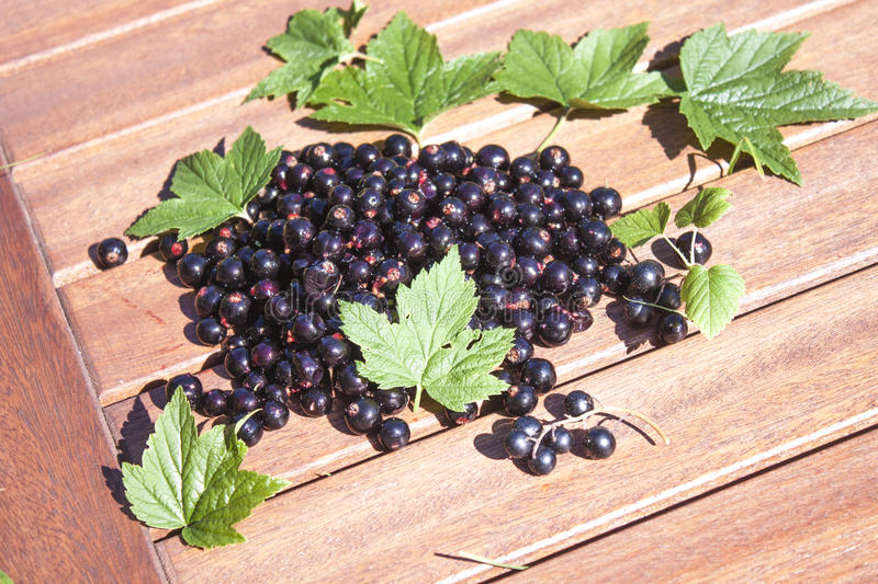 Ribes nigrum, black currant royalty free stock photography