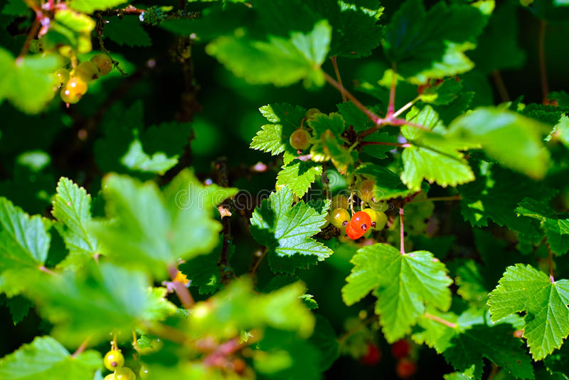 Ribes rosso del giardino immagini stock