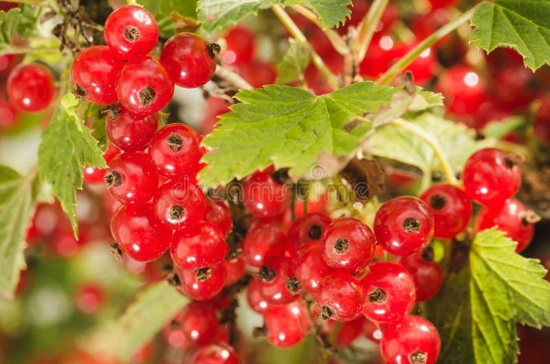 Ribes rosso nel giardino/ribes rosso nel giardino Fine in su fotografie stock