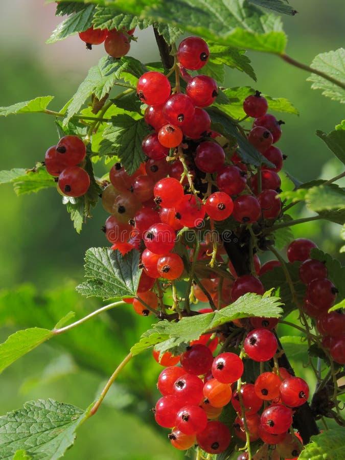 Ribes rubrum rosso luminoso scintillante delle bacche fotografia stock