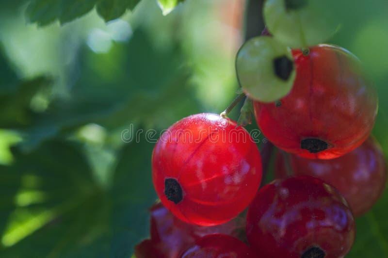 Ribesrubrum - röd vinbär arkivfoto