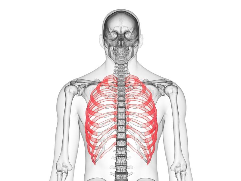 The ribs. 3d rendered medically accurate illustration of the ribs stock illustration