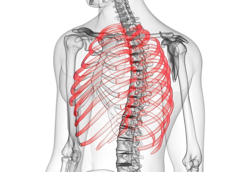 The ribs. 3d rendered medically accurate illustration of the ribs vector illustration