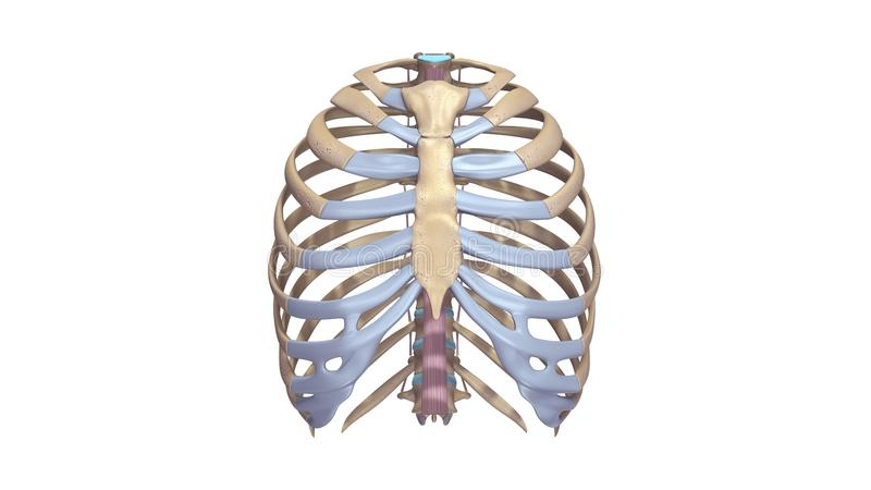 Ribs with Ligments anterior view. The human rib cage is made up of 12 paired rib bones; each are symmetrically paired on a right and left side. Of all 24 ribs royalty free illustration