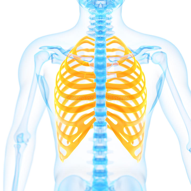 The ribs. Medical 3d illustration of the ribs royalty free illustration