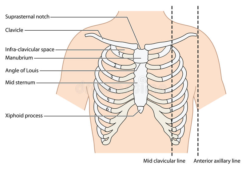 The ribs and sternum. The ribs, sternum and clavicle, showing the mid clavicular line and the anterior axillary line. Created in Adobe Illustrator. EPS 10 vector illustration