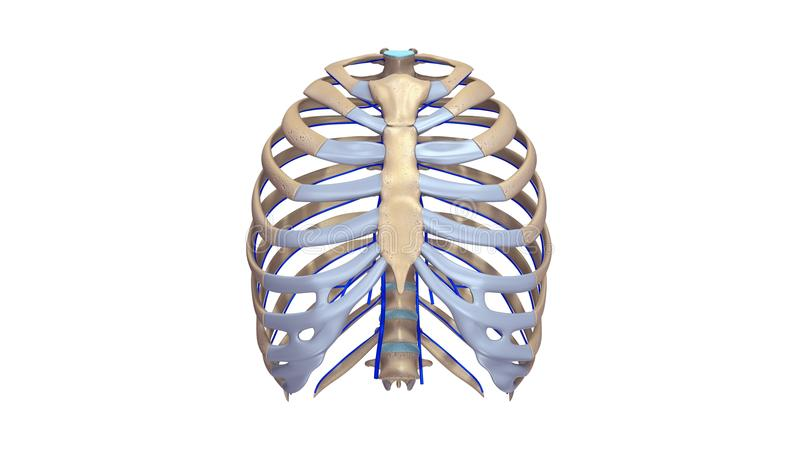 Ribs with Veins anterior view. The human rib cage is made up of 12 paired rib bones; each are symmetrically paired on a right and left side. Of all 24 ribs, the royalty free illustration