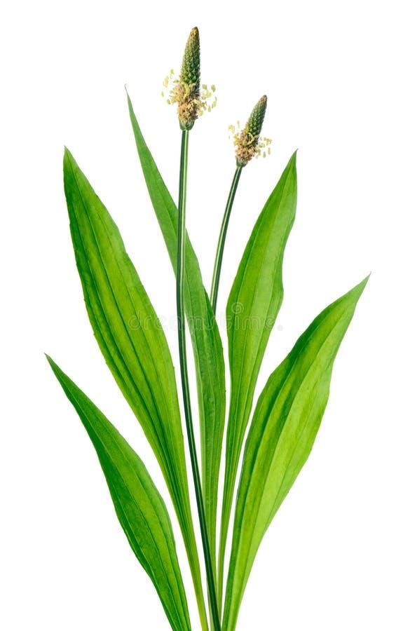 Ribwort (车前草属lanceolata) 免版税库存图片