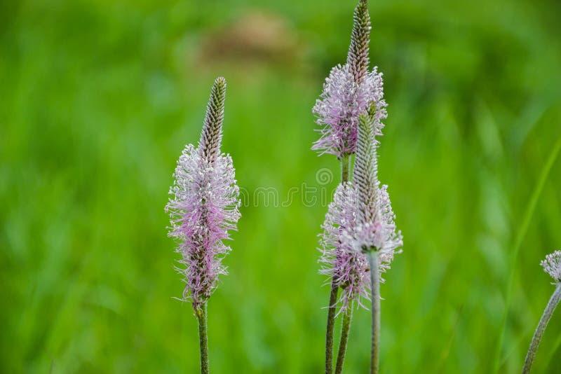 Ribwort banan, Narrowleaf banan & x28; Plantago lanceolata& x29; w okwitnięciu Kwitnący kwiat w wiosna czasie zdjęcie stock