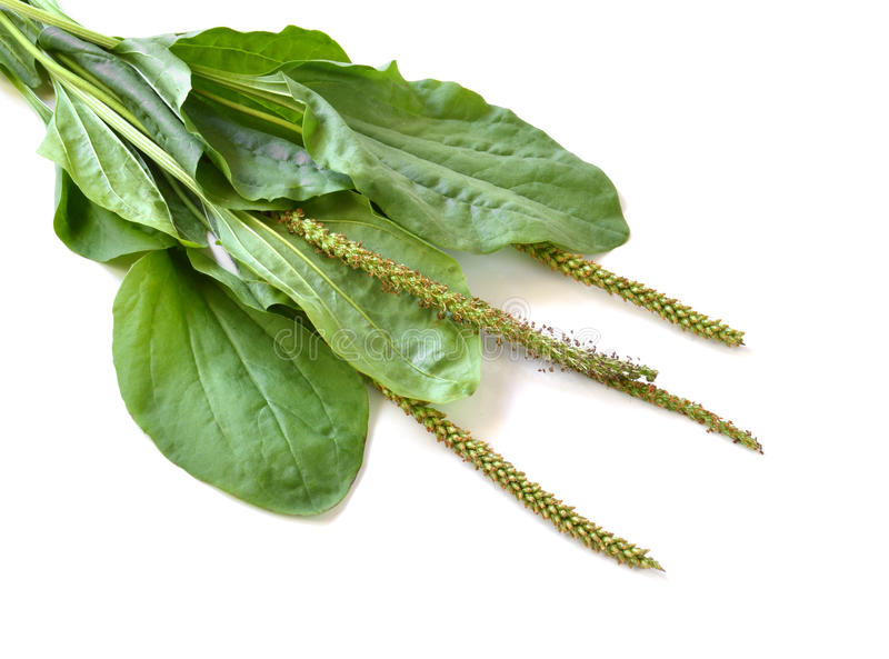 Ribwort (lanceolata Plantago) στοκ φωτογραφίες