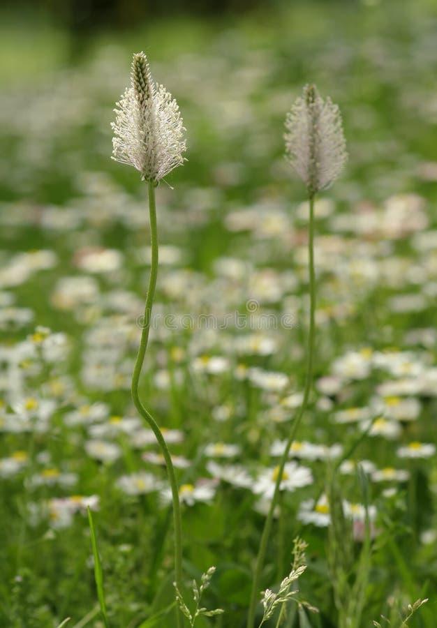 Ribwort Plantain stock photos