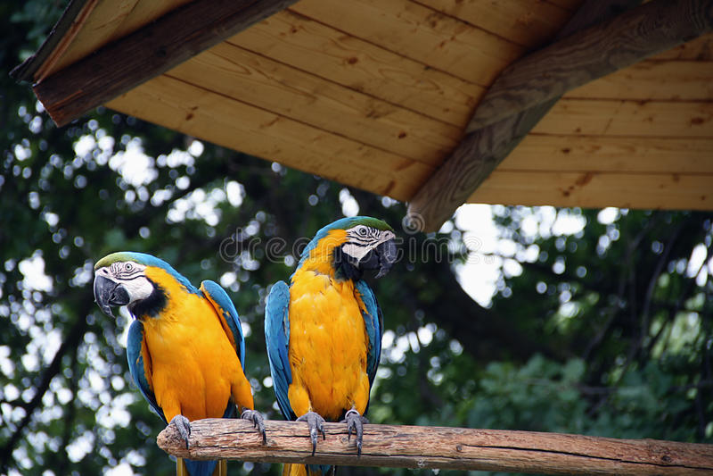 rica παπαγάλων πλευρών στοκ εικόνα
