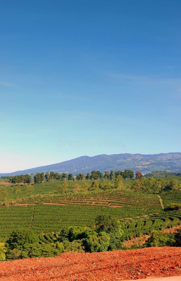 rica плантации Косты кофе стоковые изображения rf