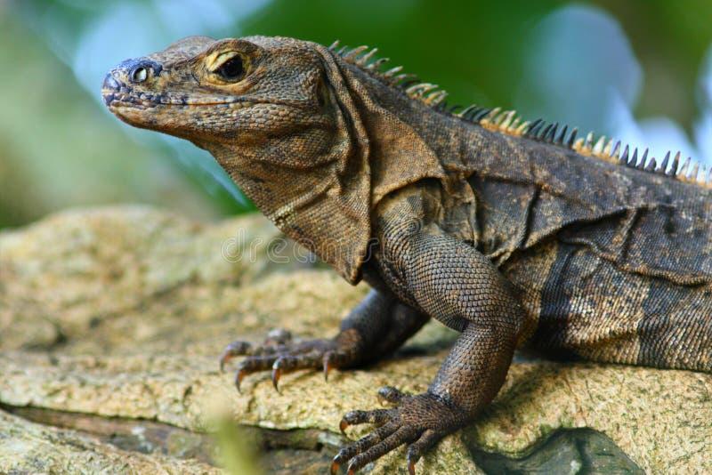 rica iguana πλευρών στοκ εικόνα
