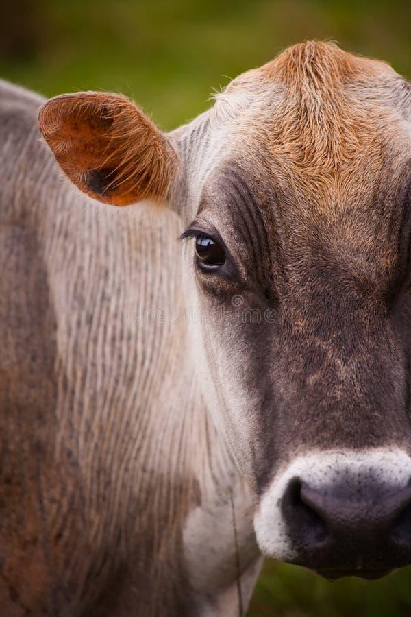 rican costa krowa obrazy royalty free