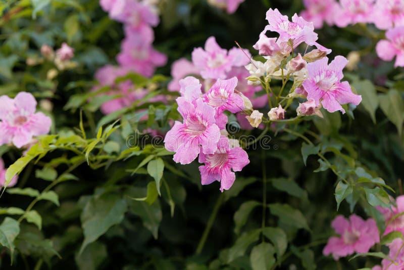 Ricasoliana rosa di Podranea del trumpetflower fotografia stock libera da diritti