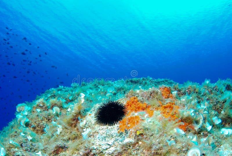 Riccio di mare in mare blu, il Mediterraneo Cap de Creus immagini stock