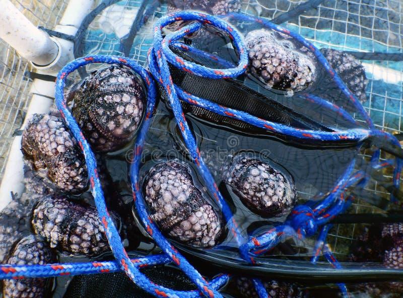 Riccio di mare per mangiare fotografia stock libera da diritti