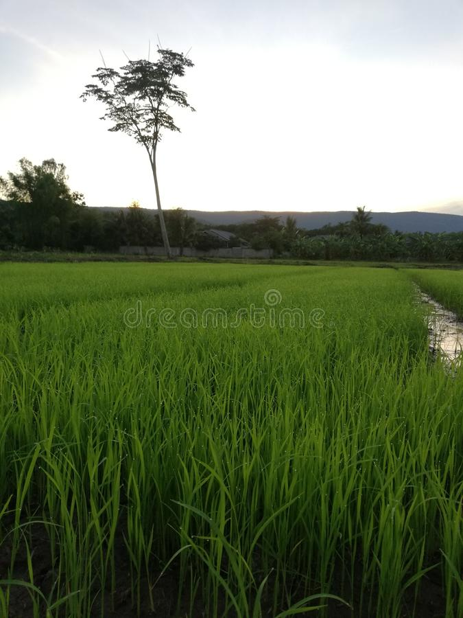 Rice plant grow in the farm stock photography