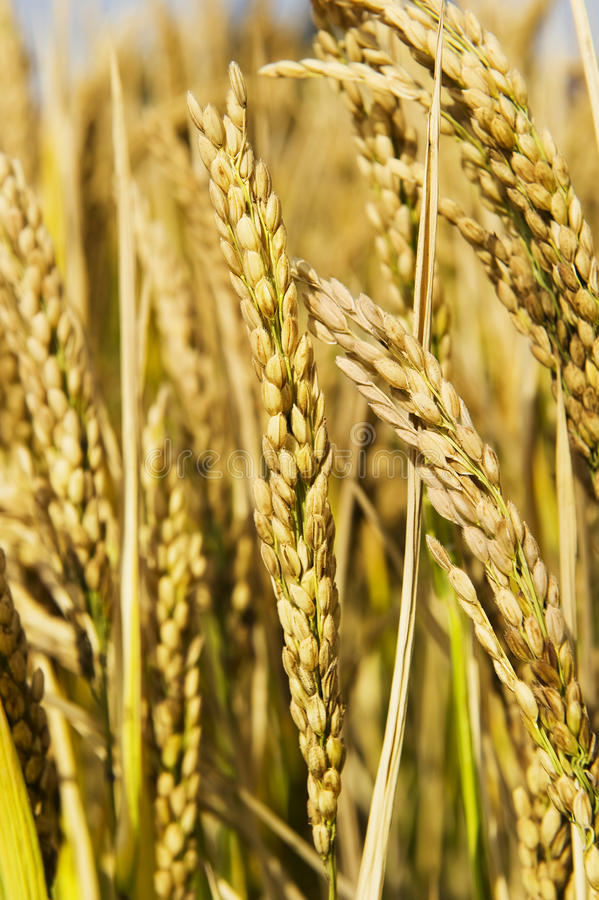 Download Rice stock image. Image of long, clear, environment, growing - 17229453