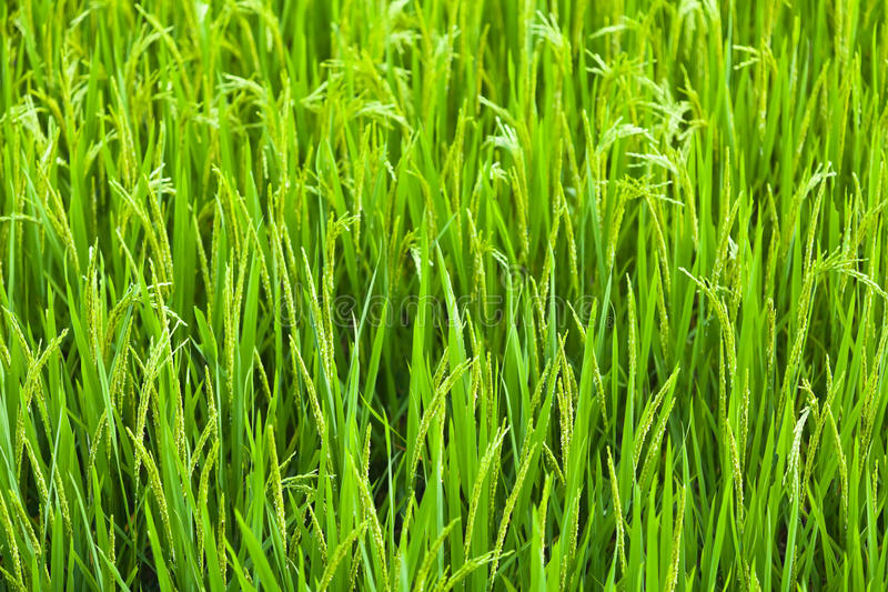 Download Rice stock image. Image of environment, land, close, farm - 20754589