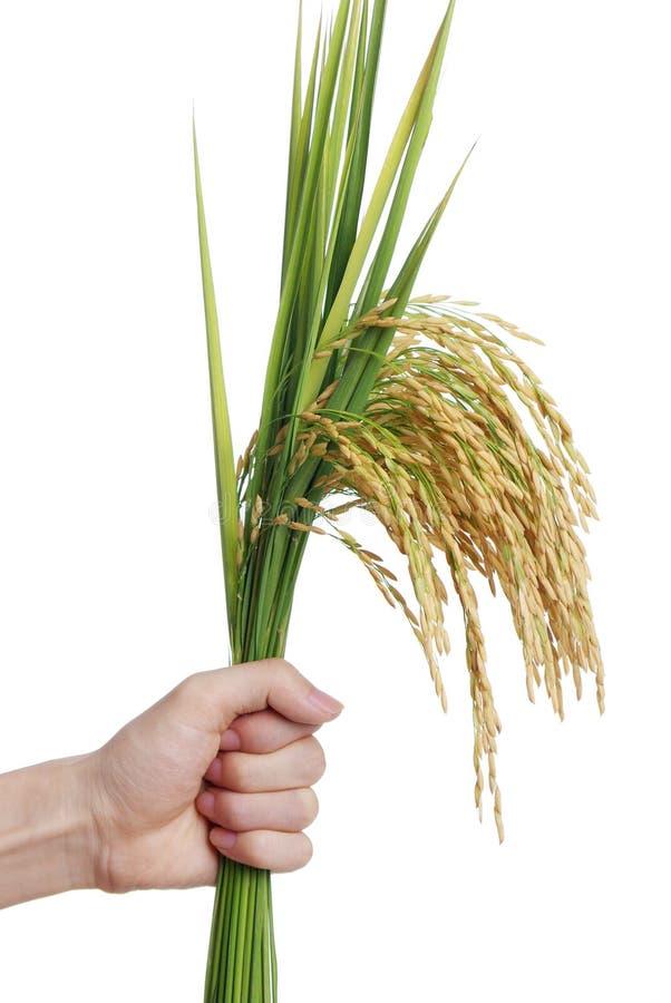Free Rice Stock Photo - 24156440