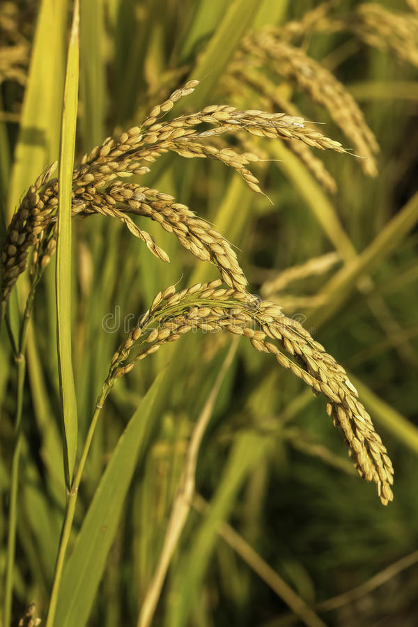 Download Rice stock image. Image of farm, farmer, mature, leaf - 27017409