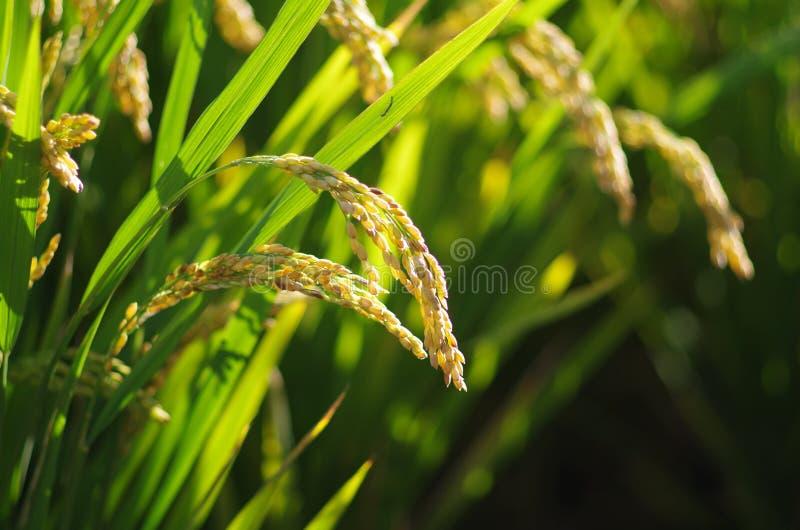 Rice fotografia stock