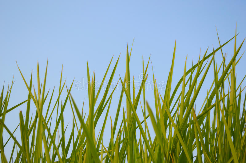 Rice. Against the blue sky in Thailand royalty free stock photography