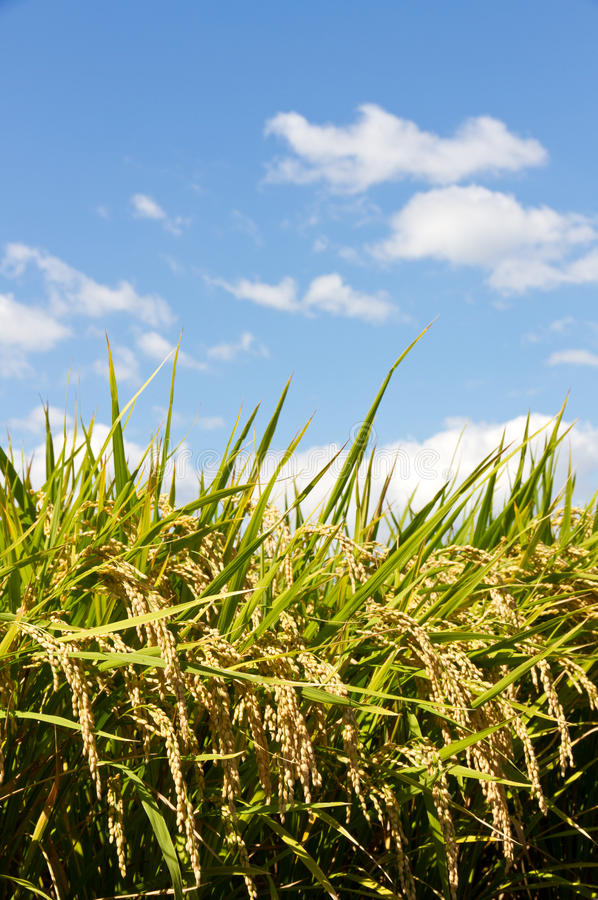 Download Rice And The Blue Sky Stock Photography - Image: 27619262