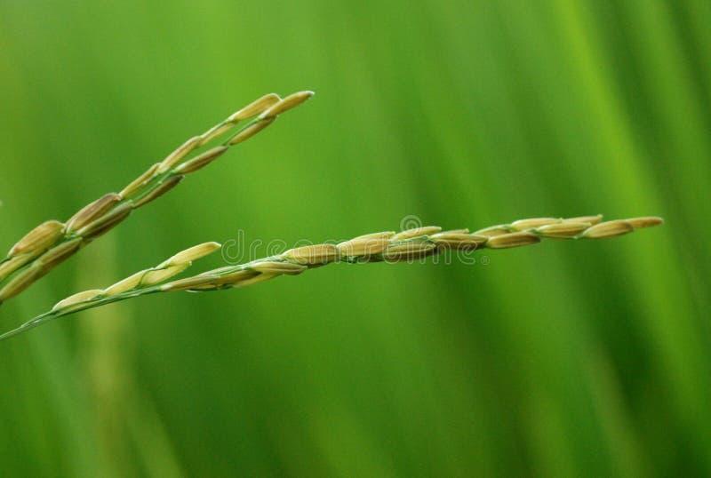 Download Rice Closeup stock image. Image of closeup, nature, field - 6151945