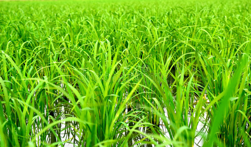 Rice in cornfield stock photography