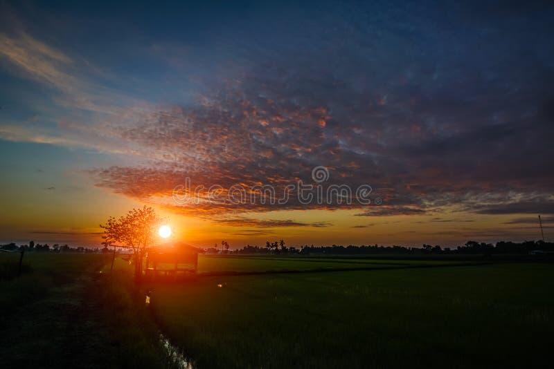 Rice cornfield at twilight sunset royalty free stock image