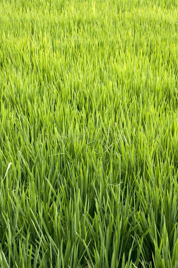 Download Rice crop stock image. Image of calm, fields, agriculture - 12094395