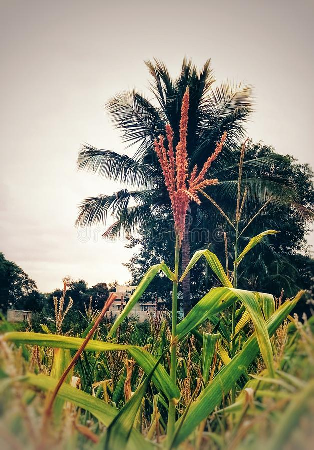 A rice crop with coconut tree background. A golden rice crop with coconut tree background looks beautiful and unique stock photography
