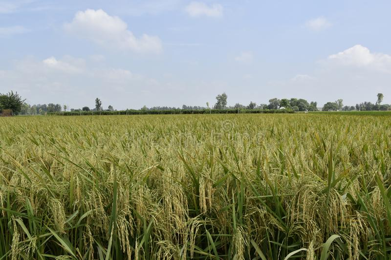 Rice crop field maturity period. Rice crop field during it`s maturity. Photo was took in Haryana, India before few days of harvesting royalty free stock photos