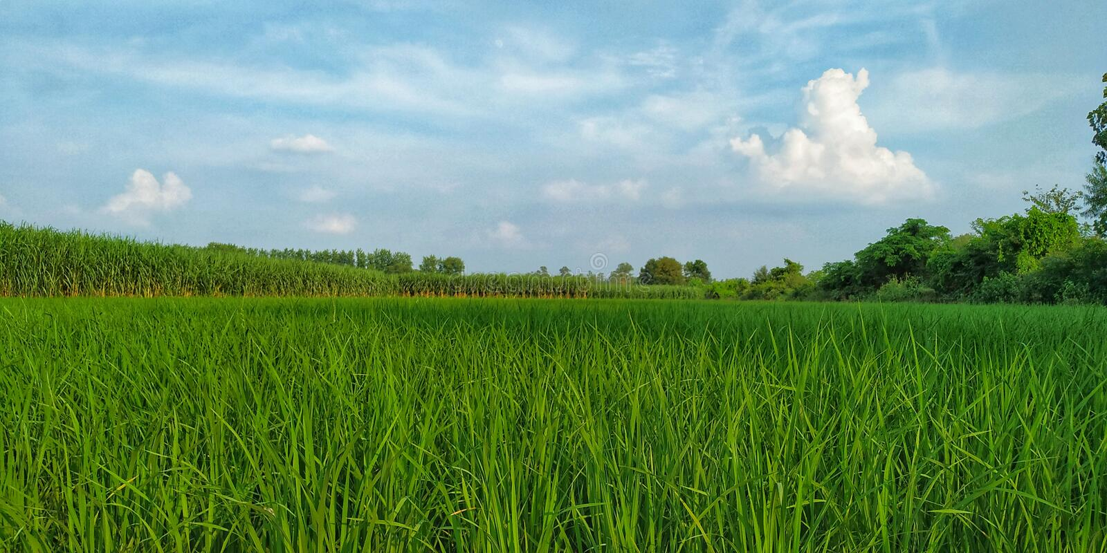 Rice crop field evening view stock images