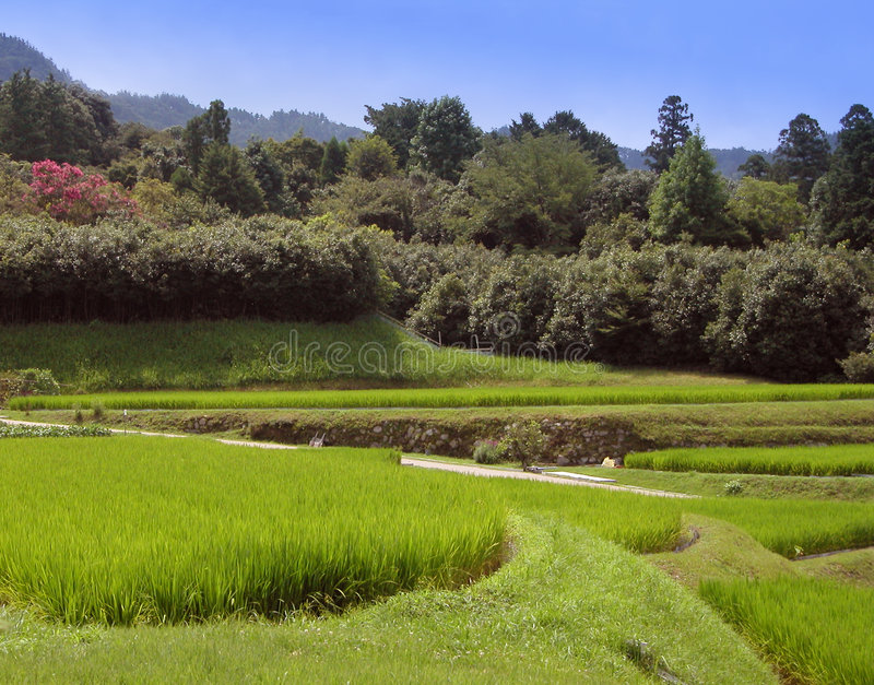 Download Rice culture stock image. Image of plant, green, japanese - 110815