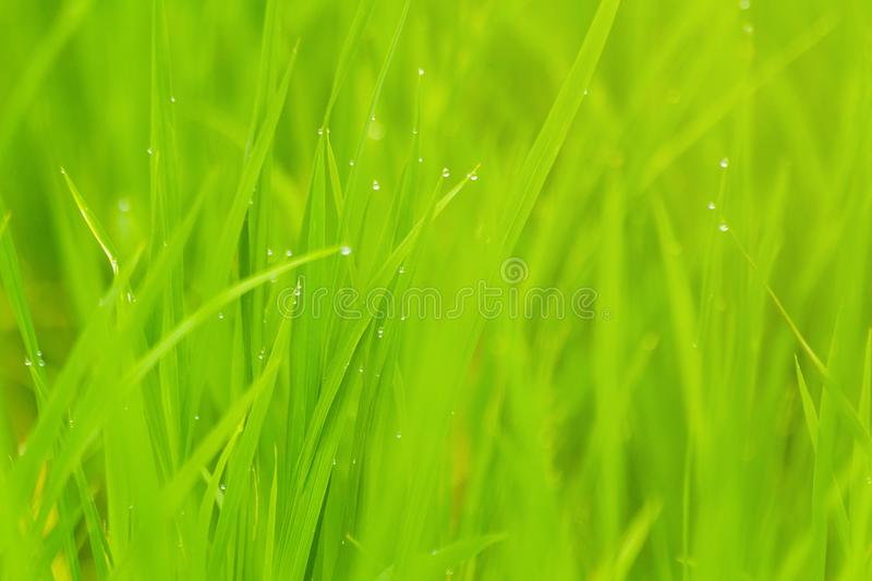 Rice with drop of water Paddy rice field in the morning. stock image