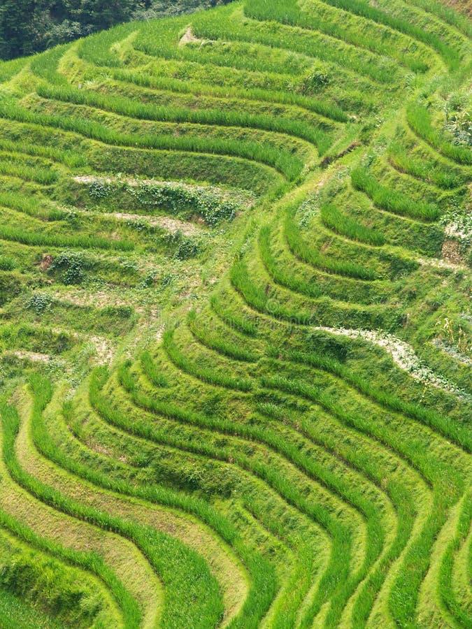 rice för 6 fält arkivfoto