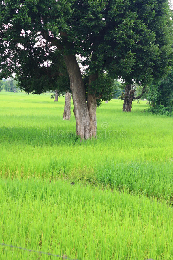 Download Rice farm stock photo. Image of green, meadow, nature - 16613952