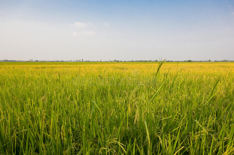 Download Rice farm stock image. Image of farming, cultivation - 21887975