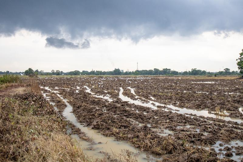 Rice farm during harvesting in Thailand. Rice farm during harvest by combining truck in rurul contryside of Thailand royalty free stock photography