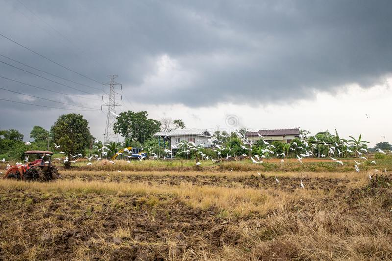 Rice farm during harvesting in Thailand. Rice farm during harvest by combining truck in rurul contryside of Thailand royalty free stock photo