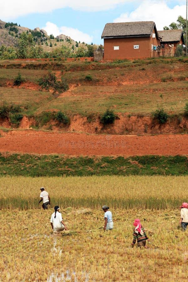 Rice farm in Madagascar