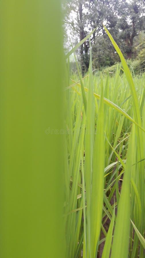 Rice farm. Near click of rice farm nature royalty free stock photo